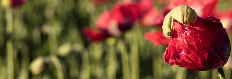 Mohnblüte – das Spektakel beginnt.